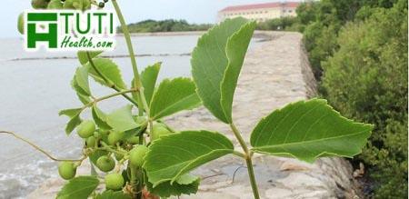 Công dụng của cây trái giác