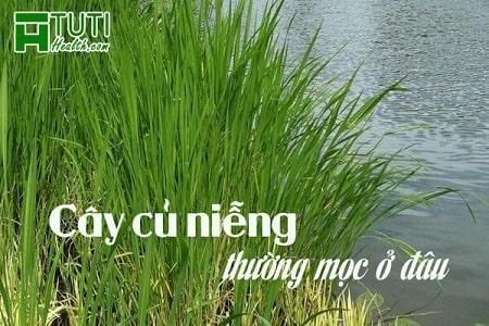 Loài cây này thường mọc ở những vùng đất trũng nước, đầm lầy...