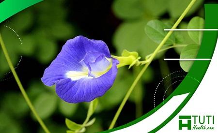 Thành phần chính của hoa đậu biếc chứa nhiều chất có lợi với cơ thể con người